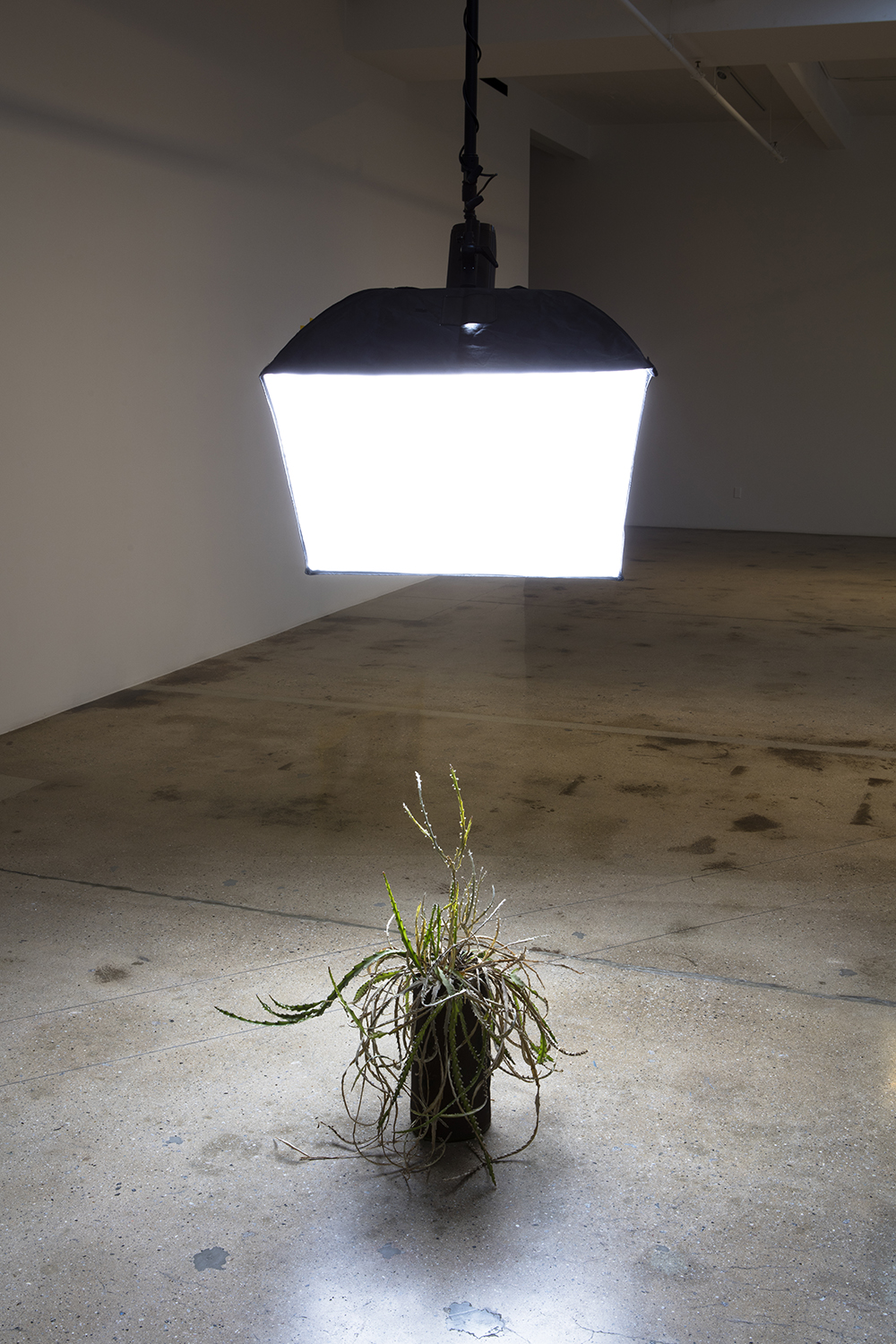 Kerry Tribe and Edgar Bryan. <em>Ceiling Light</em>, 2017. Modified lighting equipment, house plant, 144 x 54 x 38 inches